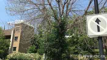 Emerald ash borer destroys 10 large trees in Edmundston - CBC.ca
