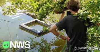 """Dendermonde probeert schildpadden te vangen, inwoner laat ze telkens weer vrij: """"Gevaarlijk voor de dieren"""" - VRT NWS"""
