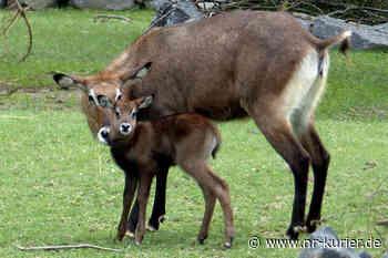 Nachwuchs auf der Afrikawiese im Zoo Neuwied - NR-Kurier - Internetzeitung für den Kreis Neuwied