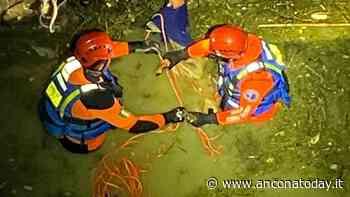 Il capriolo cade nel canale e rischia di annegare, arrivano i sommozzatori - AnconaToday