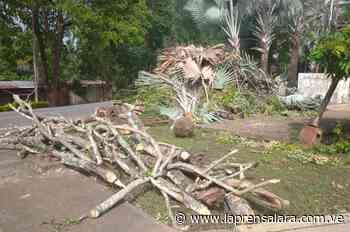 """""""Es un ecocidio lo que hacen"""", denuncian tala de árboles en Sarare - La Prensa de Lara"""