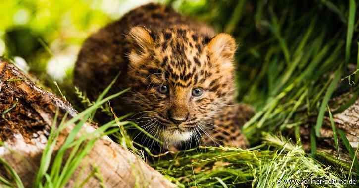 Leoparden-Nachwuchs in Hoyerswerda: Aus der Höhle ins Licht - Berliner Zeitung