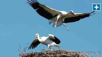 Naturschutz: Aper Storchen-Nachwuchs wird flügge - Nordwest-Zeitung
