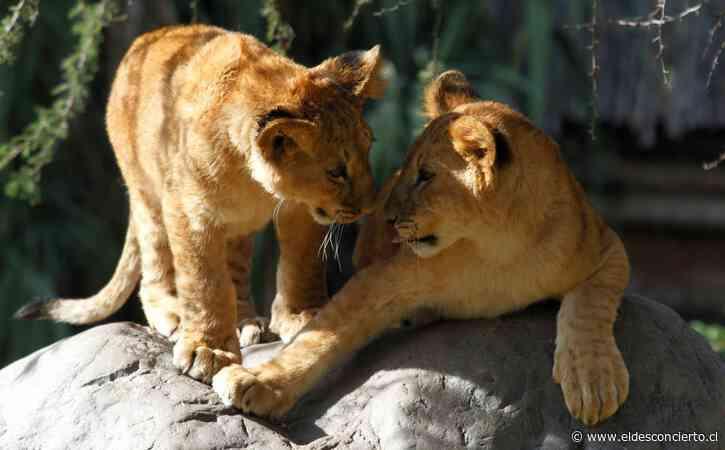 La crisis golpea duro al Buin Zoo tras 100 días sin abrir e inicia campaña para reunir recursos - El Desconcierto