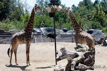 100 días cerrado por la pandemia: Buin Zoo inicia campaña para recaudar fondos - La Nación (Chile)