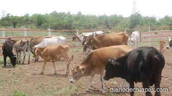 No para la robadera de ganado en Mapastepec y sus alrededores - Diario de Chiapas