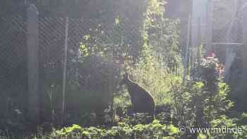 Sonneberg: Ausgebüxtes Känguru hält Polizei in Gartenanlage auf Trab | MDR.DE - MDR