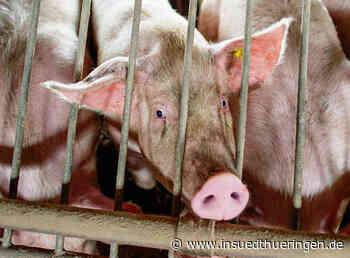 Schlachthof-Schließung wirkt bis in Thüringer Schweineställe - inSüdthüringen.de