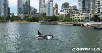 Scientists study Salish Sea's endangered orcas amid quietest ocean in '3 or 4 decades'