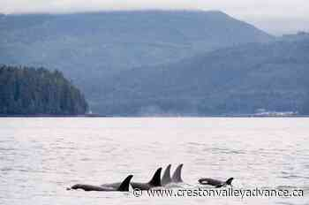 Quiet Salish Sea gives scientists chance to study endangered killer whales - Creston Valley Advance