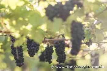 Uvas 'Carmem' e 'Magna' despontam nas parreiras da região de Jales - Diário da Região