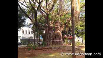 Árvores antigas da praça do Carmo serão removidas - ACidade ON