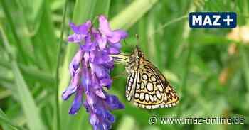 In der Rüthnicker Heide werden Schmetterlinge gezählt - Märkische Allgemeine Zeitung