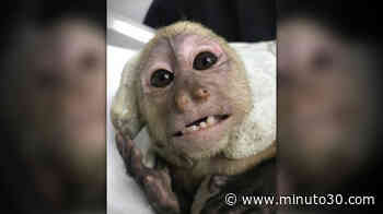 Fotos: ¡Inhumanos! Tenían un monito encadenado en Cocorná, pero ya lo rescataron - Minuto30.com