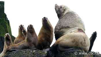 Headless sea lions are washing up on Vancouver Island — and some believe people are to blame