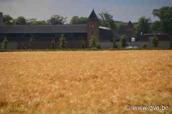 Prachtig graanveld aan abdij Westmalle niet voor bier maar voor trappistenkoeien - Gazet van Antwerpen