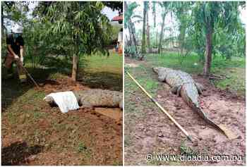 Capturan enorme lagarto de cuatro metros en Guararé - Día a día