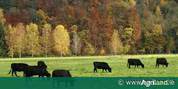 1000 pedigree Angus heifers wanted for export - Agriland