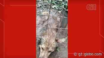 Cachorro é resgatado após ficar com a cabeça enroscada em cerca - G1