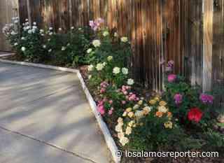 Master Gardener Dena Brent's Garden Of Color Blooms - Los Alamos Reporter