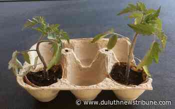 Ask a Master Gardener: Raising seedlings in eggshells has pros and cons - Duluth News Tribune