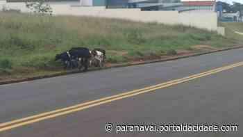 Homem é autuado por deixar bezerros soltos em avenida de Paranavaí - ® Portal da Cidade   Paranavaí