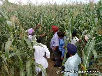 Agriculture Department to help 400 farmers sow maize - The Tribune India