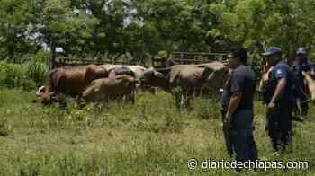 No cesa el robo de ganado en Mapastepec - Diario de Chiapas