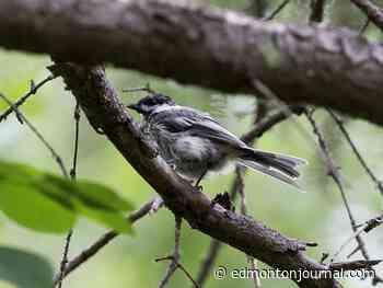 Pandemic traffic drop could up Edmonton's songbird population; air quality improves as nitrogen levels decline - Edmonton Journal