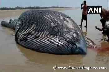 35 Foot Whale washes up on Mandarmani beach in West Bengal