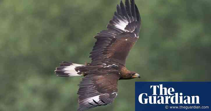 Golden and white-tailed eagles were once widespread across Wales
