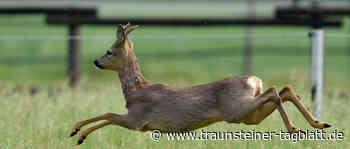 Drei freilaufende Hunde reißen Rehgeiß in Traunreut - Traunsteiner Tagblatt