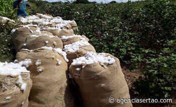 Produtores da Região de Guanambi avançam na colheita do algodão - Agência Sertão
