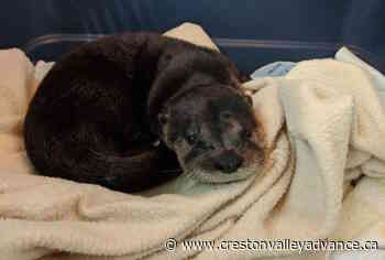 Baby otter recovering in Greater Victoria after mom killed by motorist - Creston Valley Advance