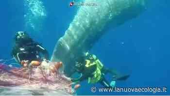 Capodoglio intrappolato in rete da pesca a Lipari ⋆ La Nuova Ecologia - La Nuova Ecologia
