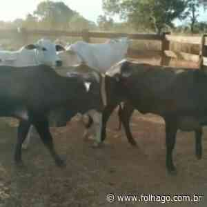 Polícia Civil recupera dez cabeças de gado na zona rural de Porangatu - FolhaGO