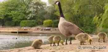 Have a gander at a gaggle of geese and goslings! | ITV News - ITV News