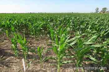 Los desafíos del maíz, en modo virtual - EL LITORAL