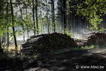 Amerikaanse eiken maken plaats voor inheemse bomen op Hengelhoef - Het Belang van Limburg