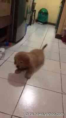 Golden Retriever puppy's adorable battle with an ice cube - Yahoo News Canada
