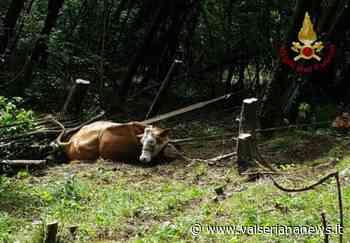 Mucca scivola in località Beur a Clusone, muore affaticata dopo il recupero con l'elicottero - Valseriana News