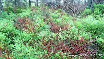 Buchen und Heidelbeersträucher werden durch Johannistrieb grün - HarzKurier