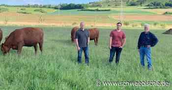 Acht Angusrinder erkunden ihre neue Weide bei Bopfingen - Schwäbische