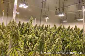 This Corner Brook cannabis business is growing - TheChronicleHerald.ca