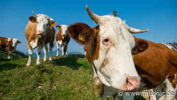 Immenstadt: Kühe stürzen 300 Meter tief - weil Wanderer sie erschreckt haben: Detail bestürzt - merkur.de