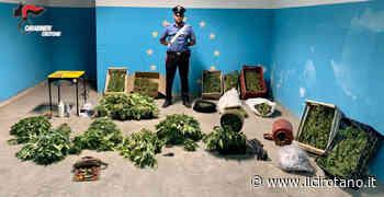 Crotone e Isola di Capo Rizzuto: Sorpresi a raccogliere piante di canapa, tre arresti e una denuncia - Il Cirotano