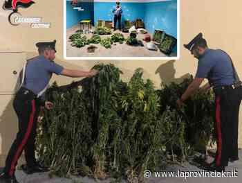 Sequestrate 147 piante di marijuana tra Papanice e Isola Capo Rizzuto: quattro gli arresti - La Provincia Kr