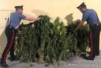 Crotone, ed Isola di Capo Rizzuto, Sorpresi a raccogliere piante di canapa: tre arresti e una denuncia - CrotoneOK.it