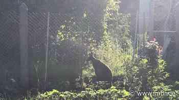 Sonneberg: Ausgebüxtes Känguru hält Polizei in Gartenanlage auf Trab - MDR