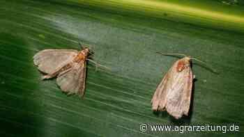 Schädlinge: Biologie des Maiszünslers - agrarzeitung online